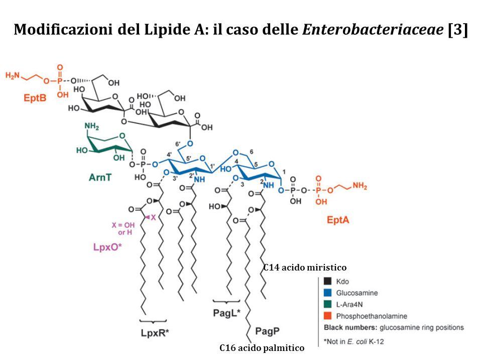 Modificazioni del Lipide A: il caso delle Enterobacteriaceae [3]